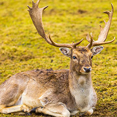 SVQ Game and Wildlife Management: Deer at SCQF level 7